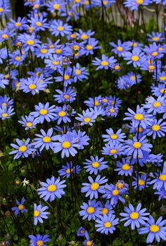 "Felicia aethiopica ""Tight and Tidy"" Selected by Texas nurseryman Tom Peace, (usually 3' tall) ""Blue Marguerite Daisy"" that stays a dense 16"" high & 30"" wide."