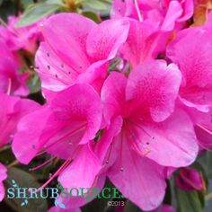 Reblooming, Early Blooming, Compact Size all for a part shade location. AZALEA - BLOOM-A-THON LAVENDER RHODODENDRON