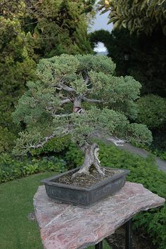 Bonsai by ptorresmx, via Flickr