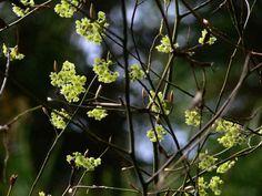 クロモジ:初春開花後葉が出る、2〜3m。落葉低木。