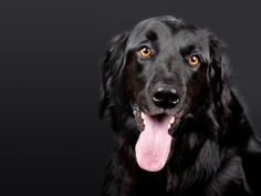 Free Image on Pixabay - Dog, Pet, Hovawart, Black, Dog Head War Dogs, Flat Coated Retriever, Easiest Dogs To Train, Black Labrador Retriever, Retriever Dog, Photo Chat, Love Dogs, Dog Training Tips, Training Courses