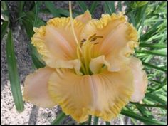 Daylily (Hemerocallis 'Victorian Queen') in the Daylilies Database (All Things Plants)