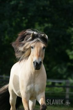 fjord horse or Norwegian Fjord Horse is a relatively small but very strong horse breed from the mountainous regions of Western Norway.