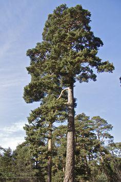 Metsämänty - Pinus sylvestris