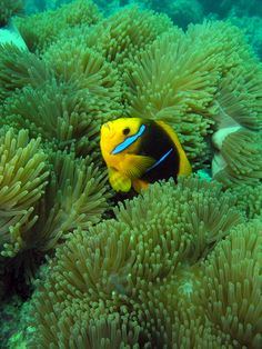 Vibrant coral reefs are found throughout French Polynesia, providing one of the main sources of income in the South Pacific. Here, an Orangefinned anemonefish (Amphiprion chrysopterus) living amongst a sea anemone.