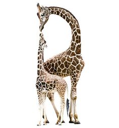 Mother and baby giraffe wall stickers, $179.95 from The Wall Sticker Company. http://www.essentialbaby.com.au/toddler/toddler-products/wild-wall-stickers-for-the-nursery-20130405-2hamh.html