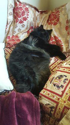 Fat kitty likes pillows