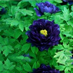 Name: Peony  Quantity: 20 pcs  Germination time: about 10 days  For germination temperature: about 15 degrees  Packing: OPP simple packaging