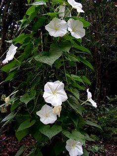 Moonflower - the most amazing scent of all to me.  I used to love playing on the deck at night because of the way the moonflowers smelled.