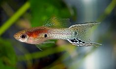 lyretail snakeskin endler cross male guppy-guppy