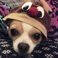 Rudolph the red nosed Chihuahua! Isis