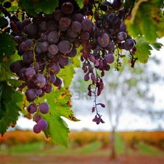 Red grapes against Autumn Vineyard Stock Photo