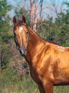 Russian Don stallion Torg