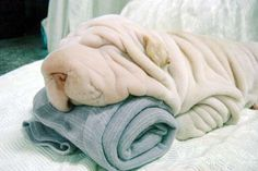 Adorable Shar-Pei need their beauty sleep. Now it's time for us to take a look at something that will make us all smile…Shar-Pei dogs sleeping in hilarious positions. Love My Dog, Baby Animals, Funny Animals, Cute Animals, Towel Animals, Funny Animal Pictures, Cute Pictures, Dog Pictures, Funniest Pictures
