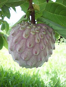 Sancoya fruit (Annona diversifola) or ilama is a tropical fruit tree found in Central America. This fruit is either eaten on the half-shelled or scooped out