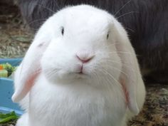 White Rabbits, Bunny Rabbits, Baby Bunnies, Easter Bunny, Bunny Paws, Cute Bunny, Fluffy Bunny, Chinchillas, Win Prizes