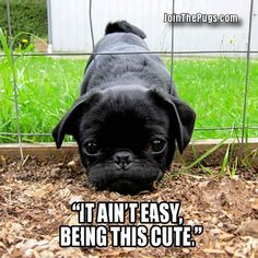 Since Join the Pugs bring the cuteness to Pug lovers all over the world. If you love Pugs. you'll love our website and social media. Cute Pugs, Cute Puppies, Funny Pugs, Pug Love, I Love Dogs, Cute Baby Animals, Funny Animals, Black Pug Puppies, Dog Cat