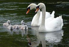 Beautiful Swan, Beautiful Birds, Animals Beautiful, Swan Pictures, Bird Pictures, Animals And Pets, Baby Animals, Cute Animals, Cygnus Olor