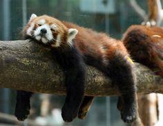 Sleepy red panda bear #animals #wildlife #photos via @HowzitMSN