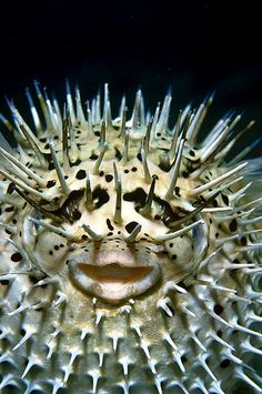 Inflated Porcupine Fish - Porcupine fishes are known for their ability to inflate themselves into a spiky ball.