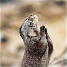 Even otters pray :)