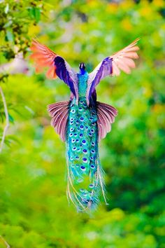 Stunning peacock plumage in flight
