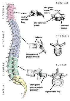Color coded vertebral column