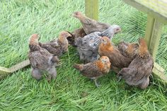 Our chicks are growing nicely and are almost ready to be released into the wider poultry paddock. Can you spot the Brahma chick among the Hamburgs though? ‪#‎chickentuesday‬