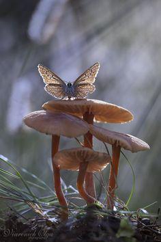 Schmetterling-Pilz