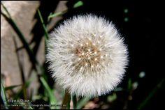 Dandelion - Diente de león.