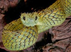 Atheris hispida also known as the Hairy Bush Viper, or Rough-scaled Tree Viper. If you don't think these guys are cute, you're wrong African Bush Viper, Animals And Pets, Cute Animals, Exotic Animals, Unique Animals, Snake Venom, Beautiful Snakes, Animals Beautiful, Mundo Animal
