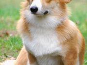 animals dogs corgi fox HD Wallpaper