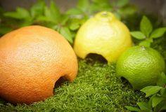 Limaces : Laissez des pelures de citron, d'orange et de pamplemousse à…