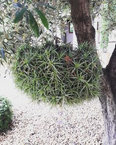 Tillandsia chandelier air plants are such fun planties air plants are such fun planties pinterest air plants chandeliers and plants aloadofball Image collections