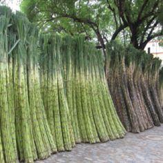 Sugar cane...Louisiana