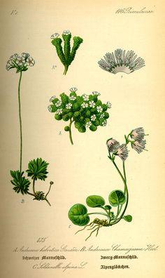 Soldanella alpina. Flora von Deutschland Österreich und der Schweiz (1885).
