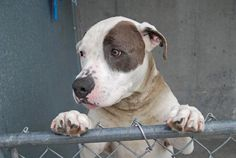 SAFE 4/20/13 Brooklyn Center SNOOPY - ID#A0961294 NEUTERED MALE, WHITE / GRAY, PIT BULL MIX, 2 yrs POOR SNOOPY WAS ABANDONED. THAT'S NO WAY TO TREAT A FRIEND. He's a good boy, with a GREEN medical rating and he's looking for a home. Please share Snoopy today ♥ ADOPT OR FOSTER TONIGHT