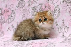 "Shaded Golden Persian Girl ""Cozette"""