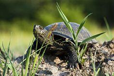 Żółw błotny | Emys orbicularis