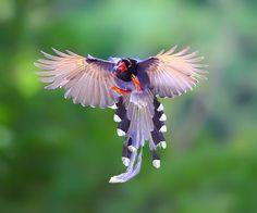 {Formosan Blue Magpie} ~By Dajan Chiou