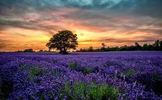 lavender, flowers, field, sunset, scenery