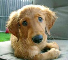 Look at that face!!! Goldens are my faves!
