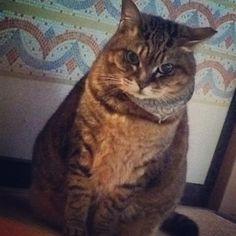 おはようございます…と、枕元にダルマ?フクロウ??? #ねこ部 #猫 #猫なのにタヌキ #前足閉じない党 #キジトラ  #ぶぅちゃん1号ideman164.5cm70kg2016/03/12 07:30:11