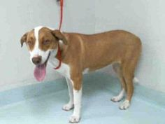 Pictures of A129302 a Labrador Retriever for adoption in Pasadena, TX who needs a loving home.