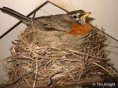 Google Image Result for http://naturemappingfoundation.org/natmap/facts/american_robin/female-on-nest.jpg
