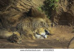 The lion lay under the Sun . - stock photo