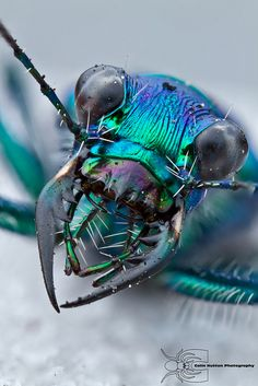 Glad these guys aren't any bigger! Iridescent dragonfly head by Colin Hutton Photography