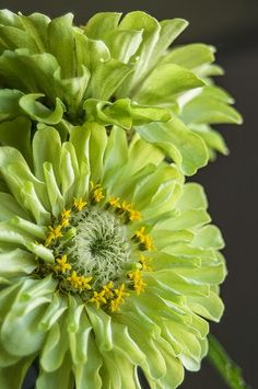 Lime Zinnias... green flower by dianabog  on Flickr...