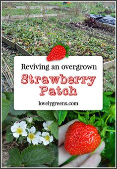 Reviving an Overgrown Strawberry Patch -- tips on tidying it up and getting it back into fruitful production