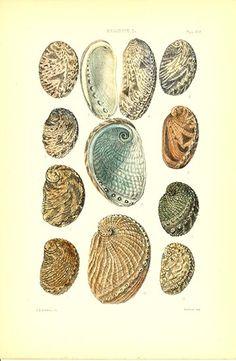Antique print: picture of Abalone (Haliotis) Shells - Haliotis I